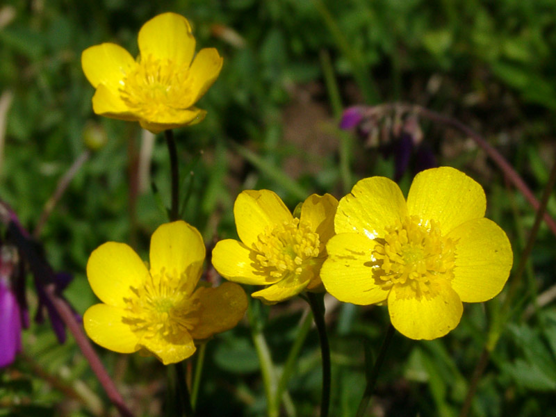 фото лютик растения