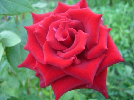 Роз явиться