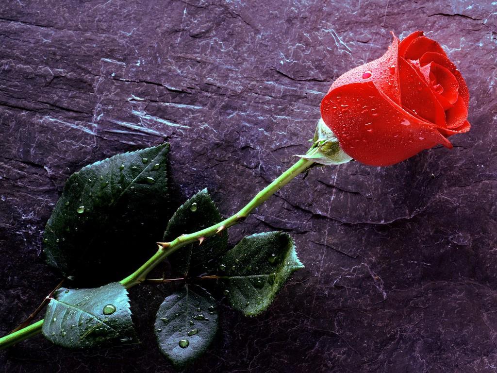 Колючих роз за каменной стеной