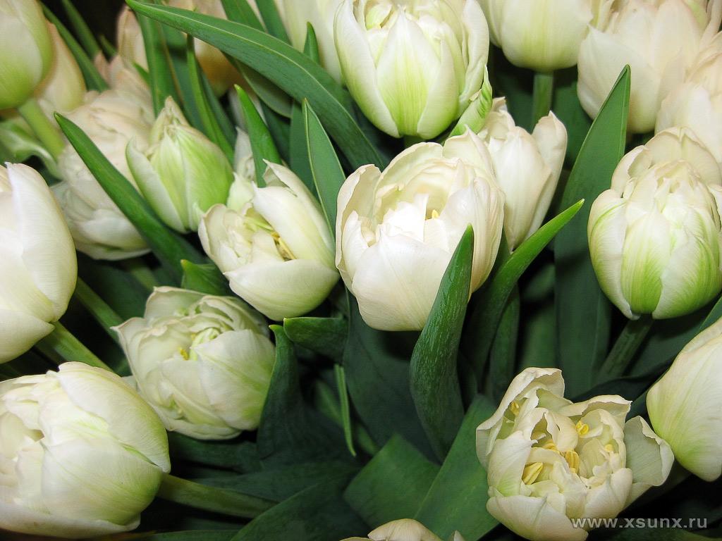 Тюльпаны типичные эфемероиды