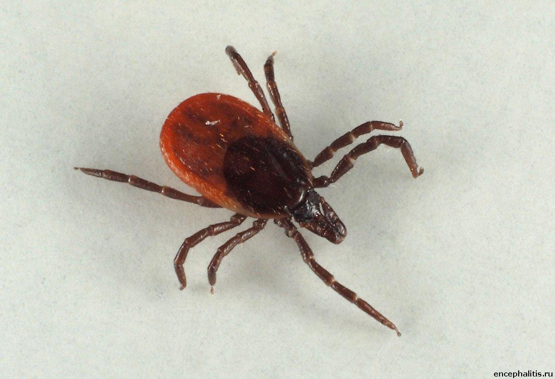 Клещ-Тромбикулид