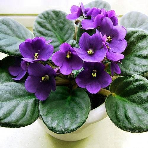 Домашние цветы фиалки