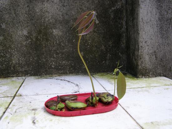 Как вырастит манго в домашних условиях