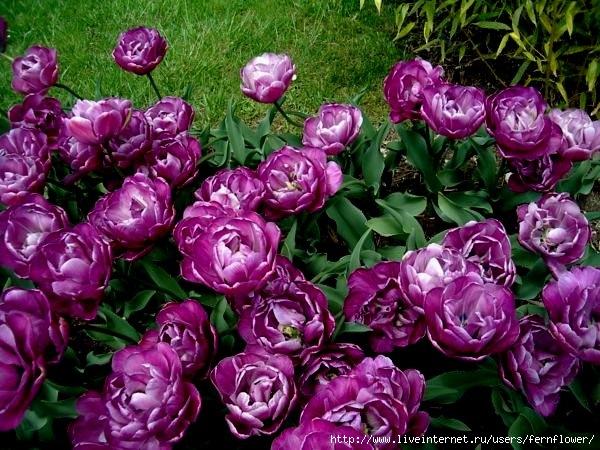 Тюльпаны цветов с названиями 83