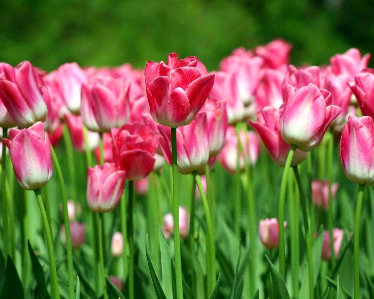 тюльпаны картинки розовые