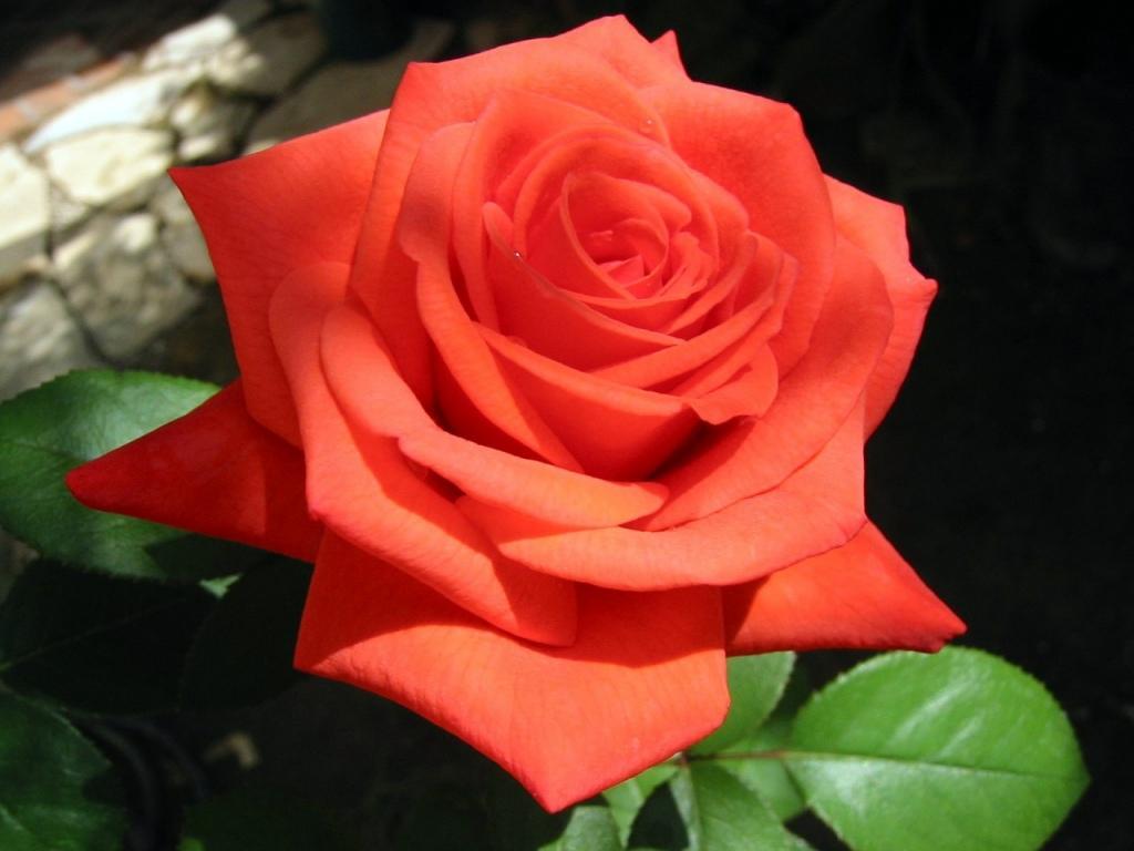 кстати, вывели настоящую голубую розу ...: www.phytology.ru/cveti-v-sadu/roza.html