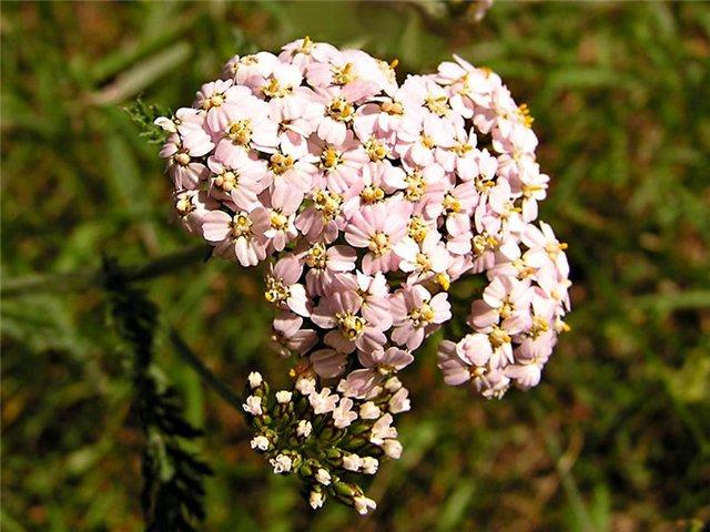 крапива цветы фото